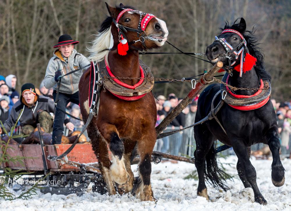 Istebna, 14.02.2016  Furman w kilkanaście sekund musi przerzucić pół tony drewna.  Konie w dwie minuty ciągną drewno, wóz i furmanów wokół placu wielkości boiska. Slalomem, bo w górskim lesie nie ma prostych dróg. Niech ktoś wymyśli lepszą maszynę.